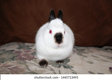 White pet rabbit black ears, nose, feet and tail with red eyes sits indoors on a flowered sofa.