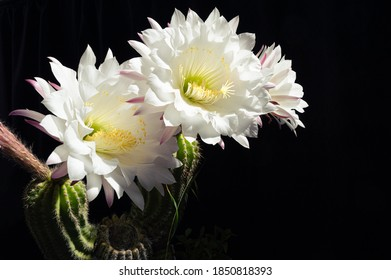 White petals cactus flower with black background