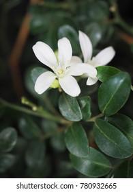 The white petals of Murraya Paniculata flowers