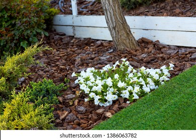white petunia blooms in a flower bed with mulching with the bark of a tree a green lawn and thuja grow around it.
