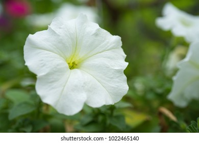 White Petunia with a faded green nature background. This flower is a genus in the family Solanaceae, subfamily Petunioideae.