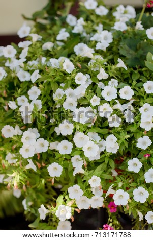 White Petunia Flowers On Flowerbed Flower Stock Photo Edit Now