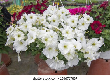 White petunia flowers. Spring garden series, Mallorca, Spain.