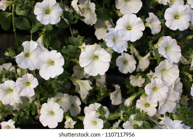 White petunias close-up. Lushly flowering petunias in a flower bed or pot. Decadent plants.