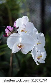 White phalaenopsis orchid flower at the botanical garden. A beautiful orchidea plant in nature.
