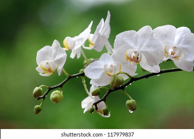 White Phalaenopsis orchid from Thailand orchids grow well in a long time in Thailand