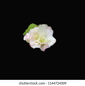 White phase of the changeable Confederate Rose / hibiscus mutabilis centered on a black background