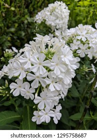 White Phlox Fuyama (or Garden phlox) flowers with Horsetail plants in the background. A very pretty spring/summer flowering herbaceous perennial plant