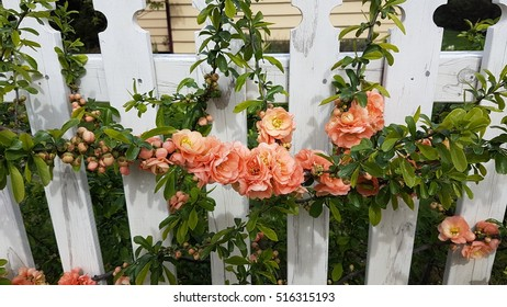 White picket fence in Arrowtown with peach coloured climbing roses