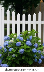 white picket fence with blue hydrangea flowers
