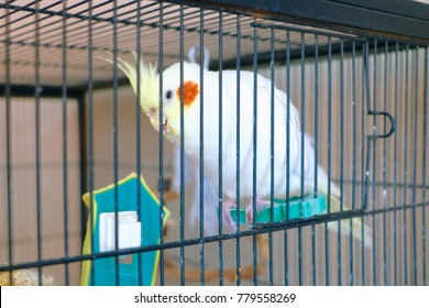A white pied cockatiel in a large birdcage.