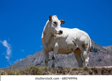 white piedmont cow on the pastures in the Italian mountain
