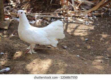 White Pigeon Bird