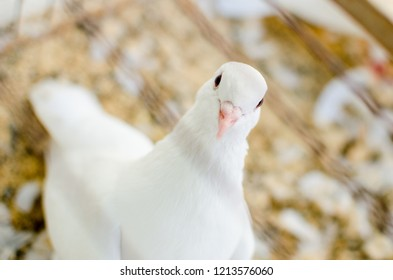 White pigeon in the cage. Th cage is not in focus