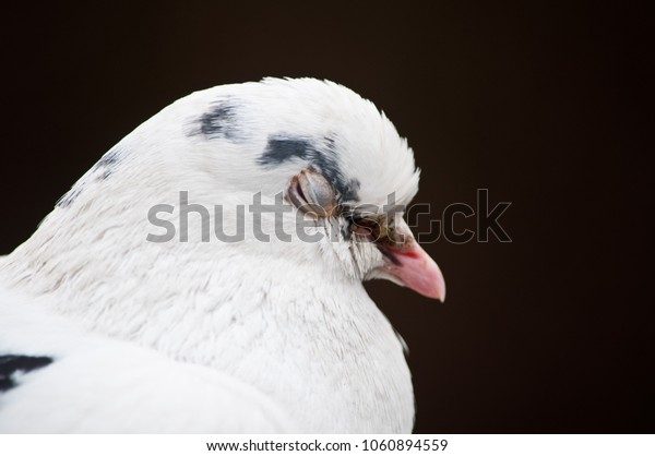 A white pigeon with it's eye in mid-blink