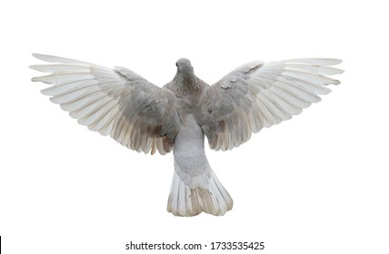White pigeon in flight isolated on white background