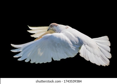 White pigeon flying isolated on black background, bird of peace, religious symbolism. High quality resulation bird photo