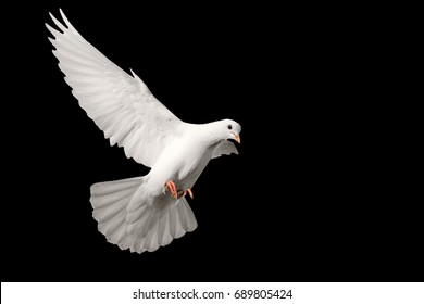 White pigeon flying isolated on black background , bird of peace, religious symbolism