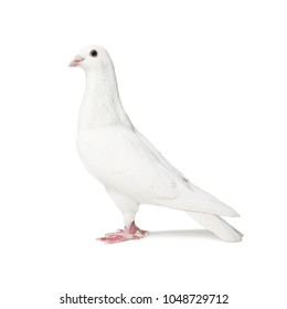White pigeon isolated on white background
