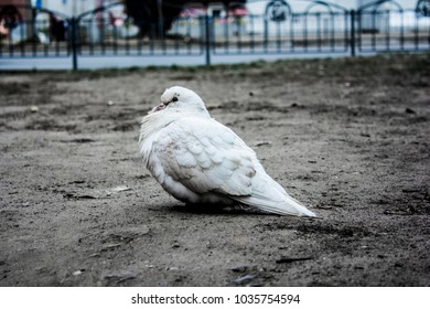 white pigeon sits on the ground
