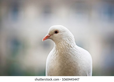 White pigeon sitting on blurred background in spring day in Moscow city, Russia.