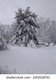 White Pine covered in heavy snow.
