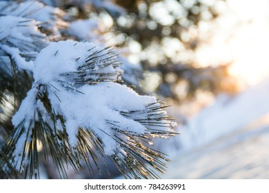 White pine tree branches covered in freshly fallen snow as the sun rises gently in the background