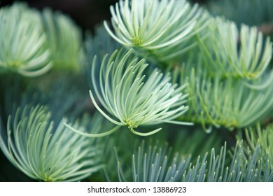 white pine tree sprout