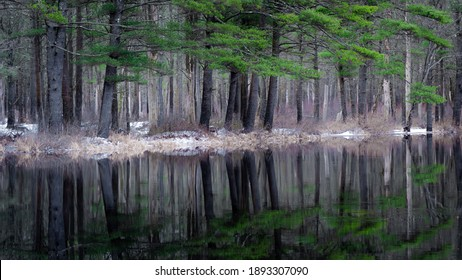 White pine trees reflected in calm water on an overcast winter day. This is the Millers River next to the Birch Hill Dam in Royalston Massachusetts.