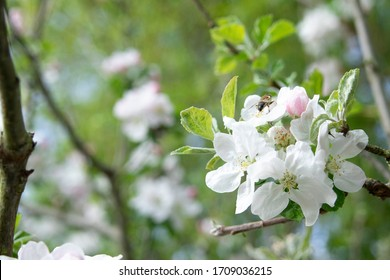 White and pink apple tree blossom with bee harvesting nectar