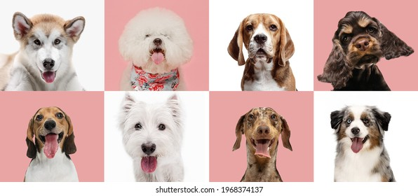 White and pink. Art collage made of funny dogs different breeds on multicolored background. Concept of motion, action, pets love, animal life. Look happy, delighted. Copyspace for ad, flyer.