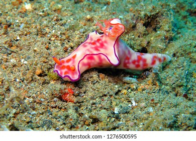 White pink beautiful nudibranch (Ceratosoma trilobatum) on the sand. Underwater macro photography from scuba diving on the seabed. Colorful sea slug in the sea. Beautiful animal in the ocean.