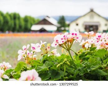 White and pink begonia flower with the colorful flower bed background in Furano, Hokkaido, Japan