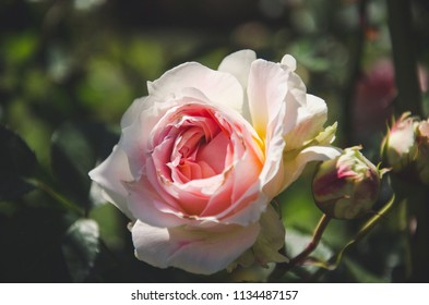 White and pink closeup rose head