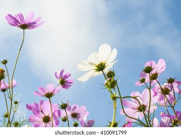 white and pink cosmos flower under the blue sky