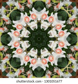 White and Pink Daffodil Narcissus Kaleidoscope