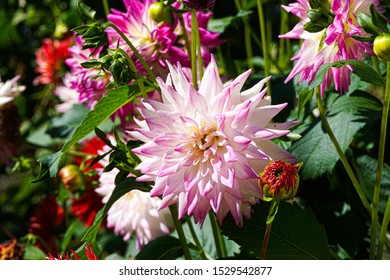 White and pink Dahlia flower in a garden on a bright sunny day.