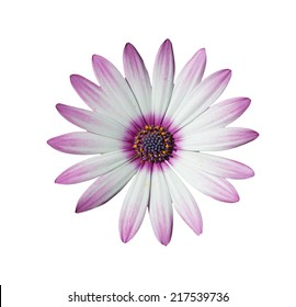 white and pink daisy isolated on white background