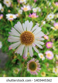white and pink daisy in the middle of other daisies