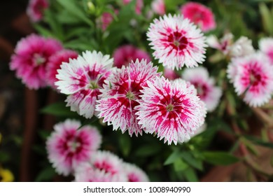 White and Pink Dianthus in Bloom