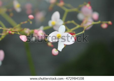 White Pink Fire King Begonia Flower Stock Photo Edit Now