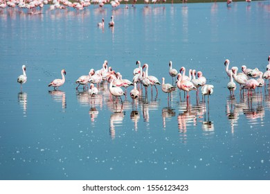 White and pink flamingos are picturesquely reflected in smooth water. Flock of magnificent birds feed themselves in coastal silt. Namibia. Sunrise. Ecological, active and photo tourism concept