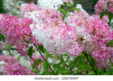 White and pink flowers of hydrangea paniculata Vanille Fraise blooming in autumn garden