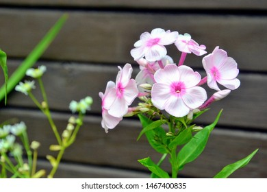 White and pink flowers phlox paniculata (fall, garden, perennial or summer phlox). Flowering branch of white and pink phlox in the summer garden with wooden wall in the background