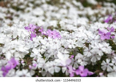 White and pink garden bed flowers in selective focus on a blurred background at the Spring Festival at Mount Tomah Botanic Garden in the Blue Mountains, New South Wales, Australia.