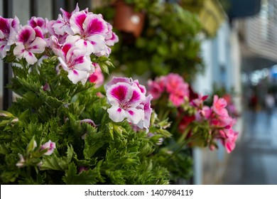White and pink geranium at athe flower shop.