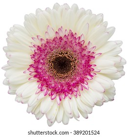 Gerbera daisy images stock photos vectors shutterstock white and pink gerbera flower isolated on a white background mightylinksfo