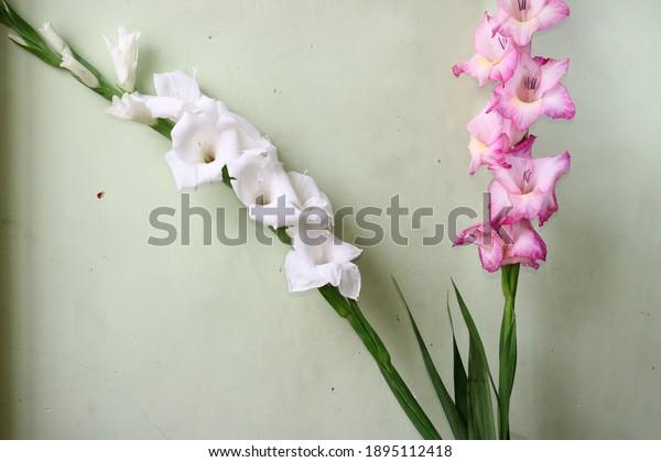 White and pink Gladiolus flower framed for seasons greetings. Background for seasons greetings.