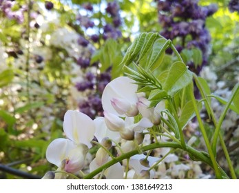 White and pink glycine flower with green leaves and branches  in the garden. - Image