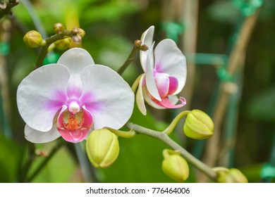 the white pink orchid